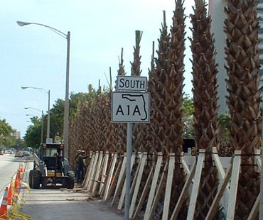 6-Matteo_City_Fort_Lauderdale_A1A_Over-100_Sabal_Palms-Planted